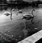 Swans on the River Wharfe at Otley
